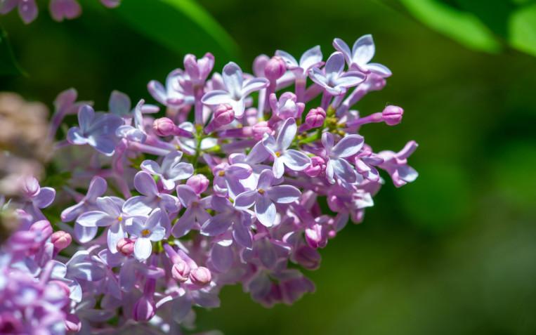 Fiori primaverili profumati: quali sono i più belli