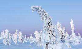 lapponia-gelo-neve-albero-foresta-ghiaccio