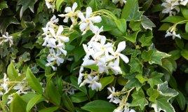 gelsomino rampicante sempreverde profumo fiori bianchi pianta curare sole