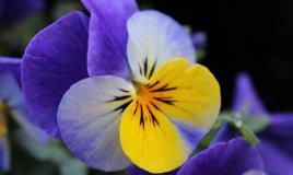 fiori inverno giacinti camelie viole sempreverdi bacche curare giardino