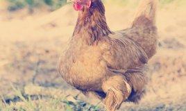 gallina allevamento rifiuti riciclo uova smaltimento umido
