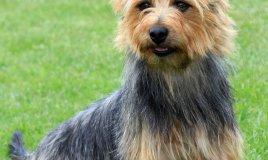 Australian Terrier, cane, descrizione