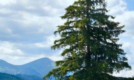 abete rosso albero proprietà salute