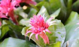 Aechmea-fiore