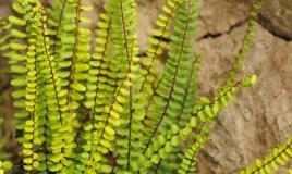 Asplenio-pianta