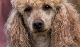 barbone medio cane