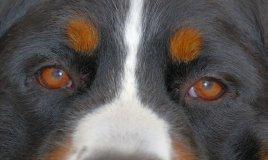Bovaro del Bernese cane descrizione
