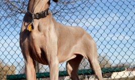 bracco tedesco cane caccia
