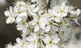 biancospino-fiori