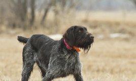 Cane ferma tedesco pelo duro cani caccia