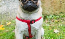 carlino, cane descrizione