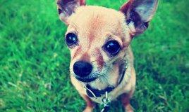 Chihuahua, cane, descrizione