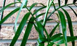 Camedorea-pianta-casa
