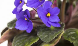 Columnea-fiori-pianta
