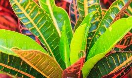 Croton-fiori-piante