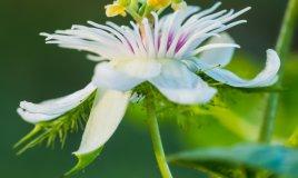 fiori della passione-passiflora-rampicante