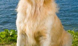 golden retriever cane razza descrizione