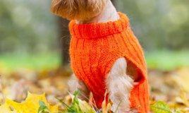 Griffone di Bruxelles, cane, descrizione