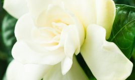 arbusti-gardenia-piante