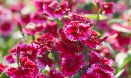 garofano-fiori