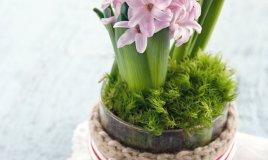 giacinto-bulbosa-coltivazione