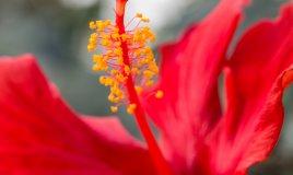 ibisco-fiori-piante