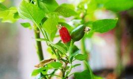 peperoncino-pianta-consigli