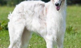 Levriero afghano cane descrizione