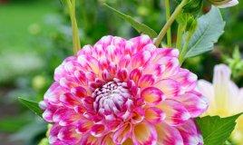 fiori-dalia-pianta