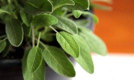 salvia-pianta-fiori