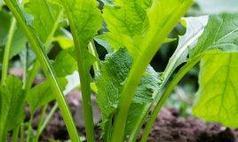 cime di rapa-pianta-coltivazione