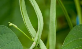 fagiolini proprietà benefici ortaggi verdure