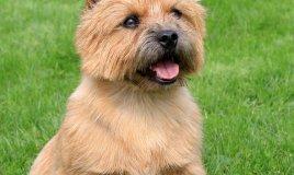 Norwich Terrier, cane, descrizione