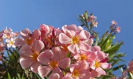 piante-oleandro-piantare