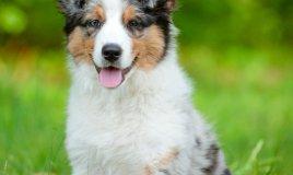 pastore australiano cane descrizione
