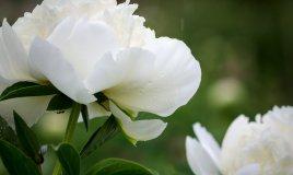 peonia-fiori