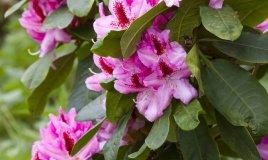 rododendro-fiori-piante