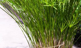 papiro-resistente-pianta
