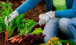 carota-orto-pianta