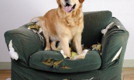 cane, distrugge comportamento, abitudine