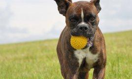cani, gioco, giocattoli,sicurezza,animali,gioco di animali