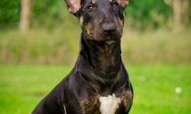 Bull Terrier Miniature