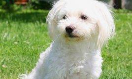 Maltese - Cani da grembo
