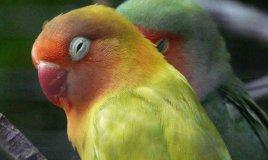 pappagallini gli inseparabili