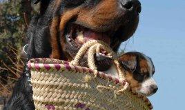 gravidanza del cane