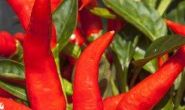 come coltivare il peperoncino in casa
