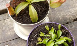 piante carnivore coltivazione