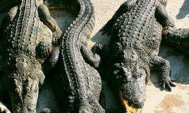 sognare coccodrilli significato
