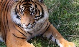 sognare una tigre significato