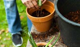 come coltivare l'aloe vera in casa